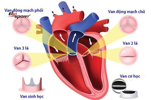 Các loại van tim